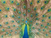 Een Indische pauw zoals je hem nog nooit zag, volledig in het wild! © Billy Herman