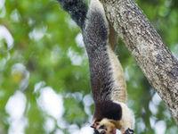 Sri Lanka giant squirrel is herkenbaar aan de bonte kleuren. © Billy Herman