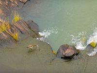 Een Indian pond heron op zoek naar vis in een stroomversnelling. © Billy Herman