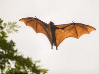 Sri Lanka - Indian flying fox - (c) Billy Herman