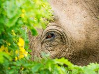 Dicht oogcontact met een Aziatische olifant tijdens een wandeling door de jungle. © Billy Herman