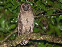 Een brown wood owl liet zich goed zien tijdens het schijnen. © Billy Herman