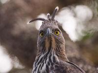 Changeable hawk-eagle kijkt wat verdwaasd. © Billy Herman