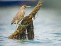Mangrovereigers vinden overal wel een geschikte zitplaats om vis te verschalken. © Billy Herman