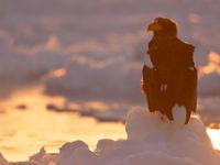 Sfeerbeeld van een Stellers zeearend bij ondergaande zon. © Yves Adams