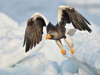 Een Stellers zeearend verlaat de zitpost. © Yves Adams