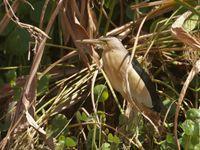 Ce blongios avait décidé de construire son nid au beau milieu d'un rond point... © Noé Terorde