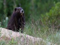 Deze ernstig bedreigde Vancouver Island marmot kende ooit nog amper dertig individuen, maar kon dankzij inspanningen terug terrein winnen. © Joachim Bertrands