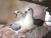 Een koppel noordse stormvogels nabij het nest. © Yves Adams
