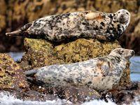 Grijze zeehonden op de troon. © Yves Adams