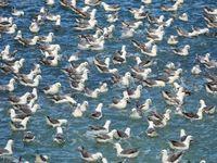 Een zee van noordse stormvogels. © Yves Adams