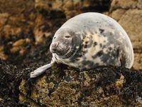 Een grijze zeehond rust uit op de rotsen. © Yves Adams