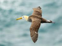 De waved albatros is de enige soort albatros die in de tropen broedt. © Yves Adams