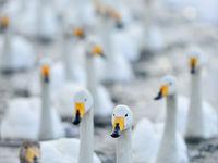 Een groep overwinterende wilde zwanen in een wak. © Yves Adams