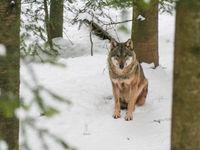 Een wolf tijdens de eerste sneeuwval. © Kenny Kenners