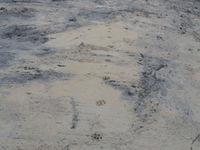 Het zand werd gelijk gemaakt om de aanwezigheid van wolven aan te tonen, met succes! © Stephan Kaasche