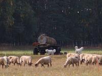 Een kudde schapen met hun persoonlijke bodyguards. © Stephan Kaasche