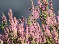 Een honingbij bezoekt de bloeiende struikhei. © Stephan Kaasche
