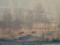 Twee wolven verkennen de omgeving. © Stephan Kaasche