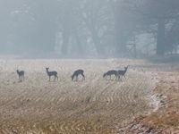 Een groep edelherten met een koppel kraanvogels op de voorgrond. © Stephan Kaasche