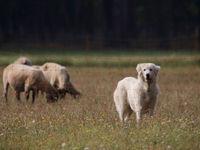 Een herdershond vlakbij de schapen die hij beschermt. © Stephan Kaasche