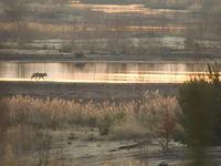 Een wolf patrouilleert langs de oever. © Stephan Kaasche