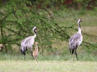 Een koppel kraanvogels leert hun kroost de eerste stapjes. © Stephan Kaasche