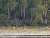 Edelherten temidden van een groep kraanvogels aan de oever van een groot ven. © Stephan Kaasche