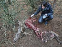 Een vers kadaver is gevonden. Er zijn wolven in de buurt! © Stephan Kaasche