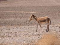 Quelques ânes sauvages s'observent aussi dans les zones arides du sud d'Israël © Noé Terorde