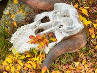 Een schedel verraadt de aanwezigheid van muskusossen. © Yves Adams