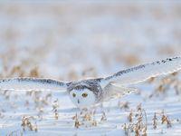 Ze scheren laag over de sneeuw om de prooi te verrassen. © Yves Adams