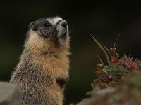 In de bergen in het binnenland wemelt het van het leven, je ziet er onder meer deze yellow-bellied marmot. © Joachim Bertrands