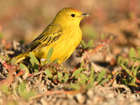 These islands attract a bunch of migratory birds, including this yellow warbler from the north. © Yves Adams