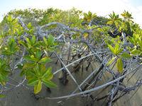 Een prille mangrovebegroeiing maakt zich meester van het strand. © Yves Adams