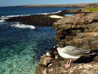 Swallow-tailed gulls in hun habitat. © Yves Adams