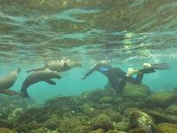 De Galapagoszeeleeuwen komen je vaak van dichtbij begluren tijdens het duiken. © Yves Adams