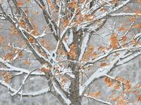 Sneeuw kleeft aan de bomen dankzij de ijzige temperaturen. © Yves Adams