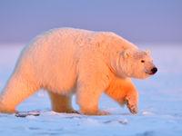 IJsbeer met warm ochtendlicht. © Yves Adams