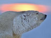 Een ijsbeer bij zonsondergang. © Yves Adams