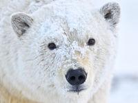Portret van een ijsbeer. © Yves Adams