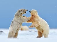 Twee vechtende ijsberen. © Yves Adams