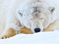 Slapende ijsbeer. © Yves Adams