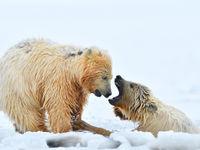 Twee spelende ijsbeerjongen. © Yves Adams