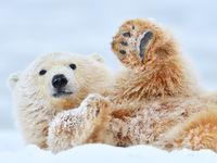 Oog in oog met jouw eerste ijsbeer?! Dat is ongetwijfeld een goeie kanshebber voor jouw STARLING hoogtepunt of droom. © Yves Adams