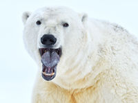 IJsbeer frontaal. © Yves Adams