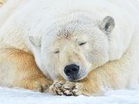 Rustende ijsbeer. © Yves Adams