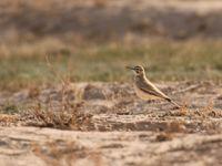 Quelques couples de sirli du désert sont résidents dans le Néguev © Noé Terorde