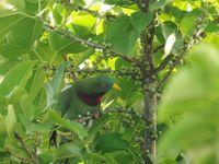 Een claret-breasted fruit dove foerageert op kleine vijgjes. © Heritage Expeditions