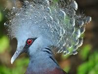 Victoria crowned pigeon moet wel de meest spectaculaire duivensoort op onze planeet zijn. © Heritage Expeditions